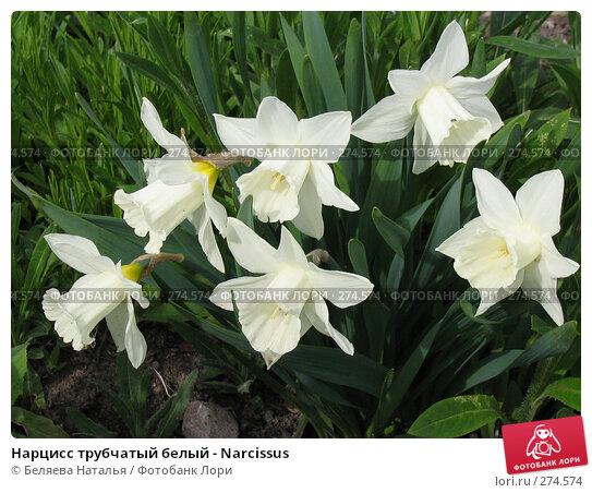 Нарцисс трубчатый белый - Narcissus, фото № 274574, снято 31 мая 2006 г. (c) Беляева Наталья / Фотобанк Лори