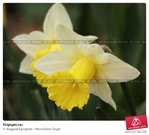 Нарциссы, фото № 35378, снято 21 апреля 2007 г. (c) Андрей Ерофеев / Фотобанк Лори