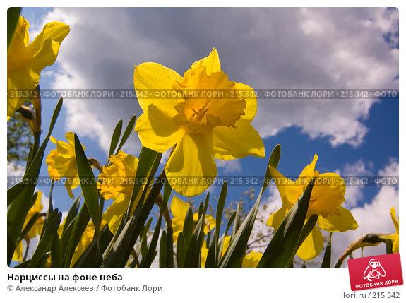 Купить «Нарциссы на фоне неба», эксклюзивное фото № 215342, снято 19 мая 2007 г. (c) Александр Алексеев / Фотобанк Лори