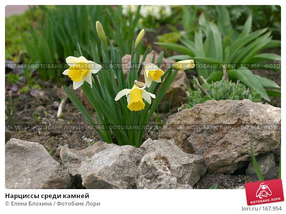 Купить «Нарциссы среди камней», фото № 167954, снято 24 апреля 2007 г. (c) Елена Блохина / Фотобанк Лори