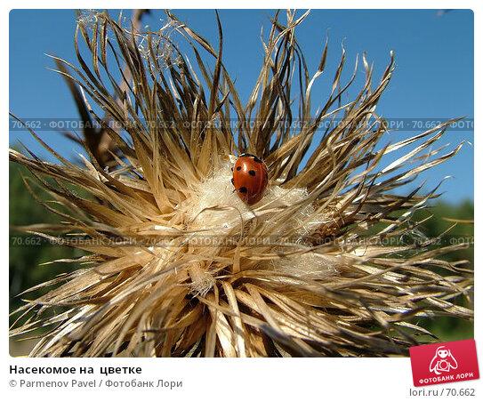 Насекомое на  цветке, фото № 70662, снято 27 августа 2005 г. (c) Parmenov Pavel / Фотобанк Лори