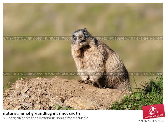 Baby marmot animal
