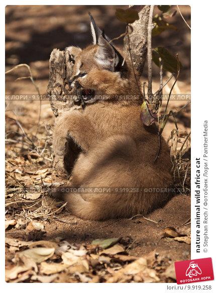 Купить «nature animal wild africa cat», фото № 9919258, снято 16 февраля 2019 г. (c) PantherMedia / Фотобанк Лори
