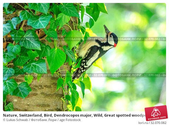 Nature, Switzerland, Bird, Dendrocopos major, Wild, Great spotted woodpecker, Woodpecker, Great spotted. Стоковое фото, фотограф Lukas Schwab / age Fotostock / Фотобанк Лори