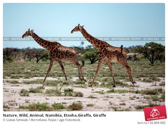 Nature, Wild, Animal, Namibia, Etosha,Giraffa, Giraffe. Стоковое фото, фотограф Lukas Schwab / age Fotostock / Фотобанк Лори