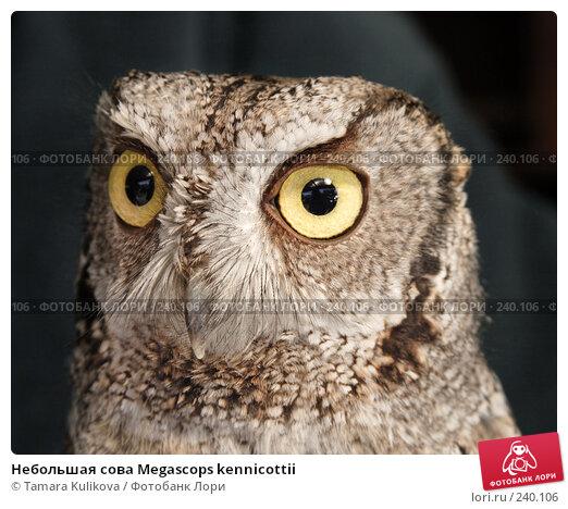 Купить «Небольшая сова Megascops kennicottii», фото № 240106, снято 30 марта 2008 г. (c) Tamara Kulikova / Фотобанк Лори