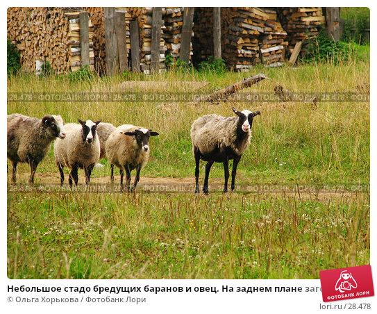 Небольшое стадо бредущих баранов и овец. На заднем плане заготовки дров., фото № 28478, снято 3 августа 2006 г. (c) Ольга Хорькова / Фотобанк Лори