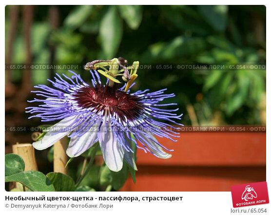 Необычный цветок-щетка - пассифлора, страстоцвет, фото № 65054, снято 29 апреля 2007 г. (c) Demyanyuk Kateryna / Фотобанк Лори