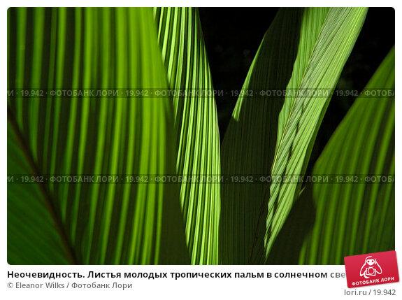 Неочевидность. Листья молодых тропических пальм в солнечном свете, фото № 19942, снято 11 февраля 2007 г. (c) Eleanor Wilks / Фотобанк Лори