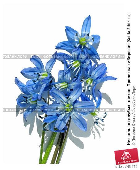 Несколько голубых цветов. Пролеска сибирская (Scilla Sibirica), фото № 43174, снято 7 апреля 2007 г. (c) Петрова Ольга / Фотобанк Лори