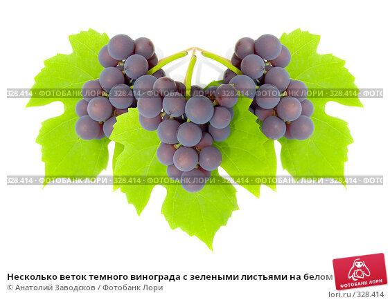 Несколько веток темного винограда с зелеными листьями на белом фоне, фото № 328414, снято 1 октября 2006 г. (c) Анатолий Заводсков / Фотобанк Лори