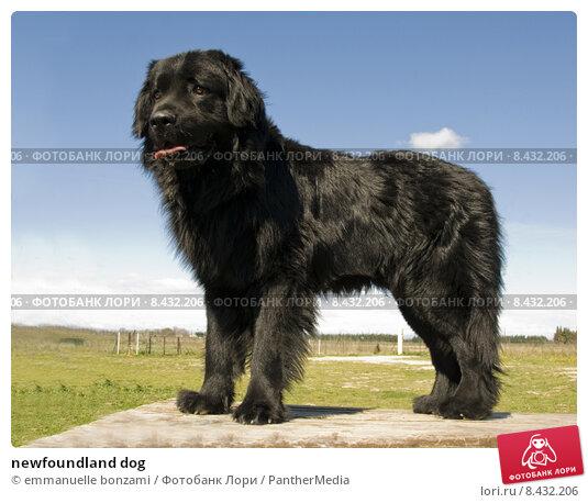 Купить «newfoundland dog», фото № 8432206, снято 16 сентября 2019 г. (c) PantherMedia / Фотобанк Лори