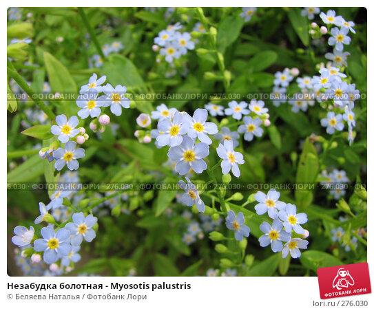 Купить «Незабудка болотная - Myosotis palustris», фото № 276030, снято 15 июля 2007 г. (c) Беляева Наталья / Фотобанк Лори