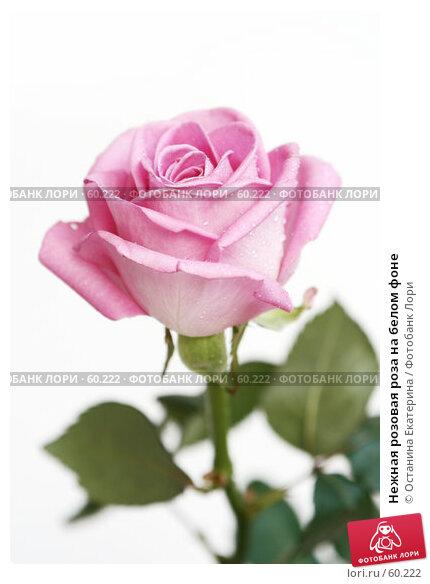 Нежная розовая роза на белом фоне, фото № 60222, снято 29 марта 2007 г. (c) Останина Екатерина / Фотобанк Лори
