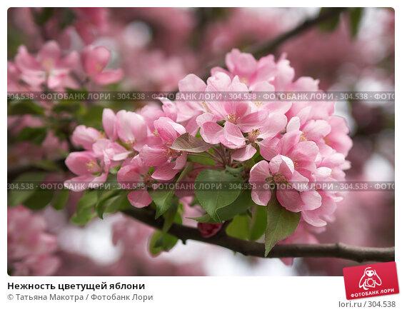 Нежность цветущей яблони, фото № 304538, снято 6 мая 2008 г. (c) Татьяна Макотра / Фотобанк Лори