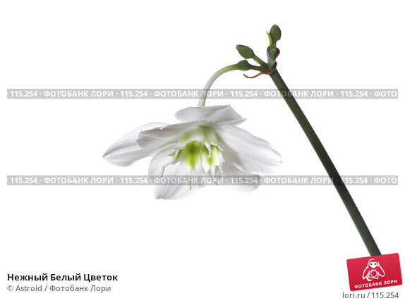Нежный Белый Цветок, фото № 115254, снято 28 апреля 2007 г. (c) Astroid / Фотобанк Лори