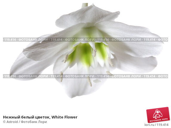Нежный белый цветок, White Flower, фото № 119414, снято 28 апреля 2007 г. (c) Astroid / Фотобанк Лори