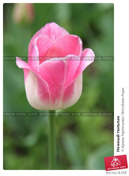 Нежный тюльпан, эксклюзивное фото № 4318, снято 29 мая 2006 г. (c) Ирина Терентьева / Фотобанк Лори