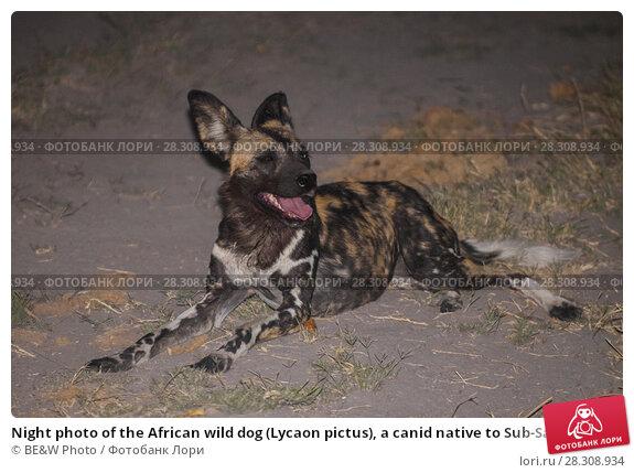 Купить «Night photo of the African wild dog (Lycaon pictus), a canid native to Sub-Saharan Africa, Okavango Delta, Botswana», фото № 28308934, снято 12 ноября 2019 г. (c) BE&W Photo / Фотобанк Лори