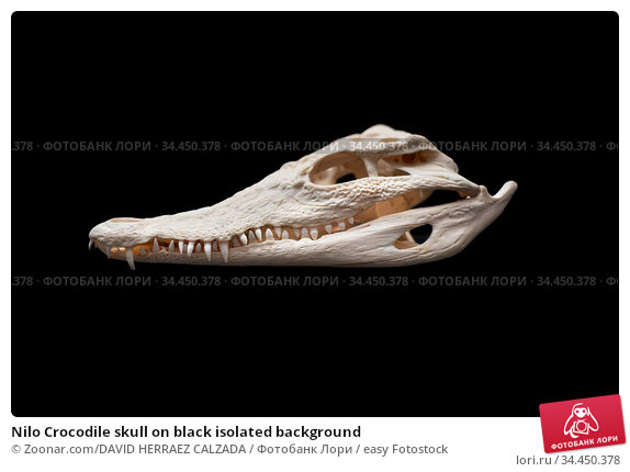 Nilo Crocodile skull on black isolated background. Стоковое фото, фотограф Zoonar.com/DAVID HERRAEZ CALZADA / easy Fotostock / Фотобанк Лори
