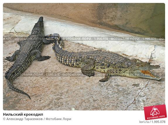 Купить «Нильский крокодил», эксклюзивное фото № 1995078, снято 15 сентября 2010 г. (c) Александр Тарасенков / Фотобанк Лори
