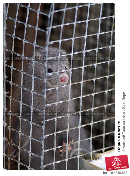 Норка в клетке, фото № 230662, снято 6 ноября 2007 г. (c) Алексей Тишкин / Фотобанк Лори