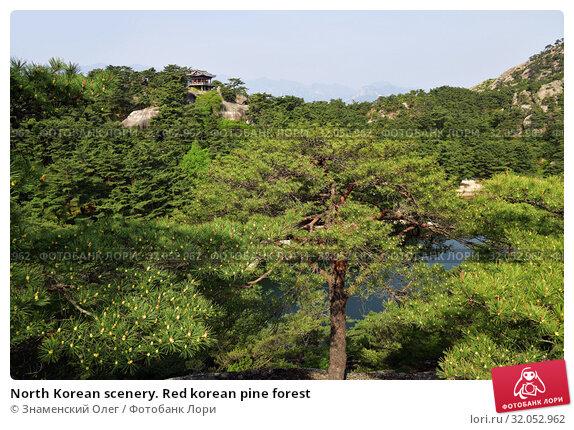 North Korean scenery. Red korean pine forest. Стоковое фото, фотограф Знаменский Олег / Фотобанк Лори