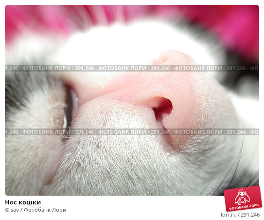 Нос кошки, фото № 291246, снято 20 октября 2005 г. (c) sav / Фотобанк Лори