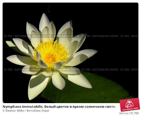 Nymphaea immutabilis. Белый цветок в ярком солнечном свете., фото № 31758, снято 8 апреля 2007 г. (c) Eleanor Wilks / Фотобанк Лори