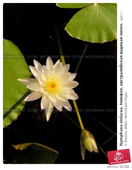 Nymphaea violacea. Нимфея, австралийская водяная лилия - цветок, бутон и листья., фото № 33742, снято 7 мая 2007 г. (c) Eleanor Wilks / Фотобанк Лори