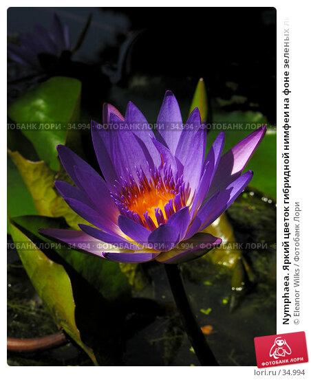 Nymphaea. Яркий цветок гибридной нимфеи на фоне зеленых листьев и воды., фото № 34994, снято 30 сентября 2006 г. (c) Eleanor Wilks / Фотобанк Лори