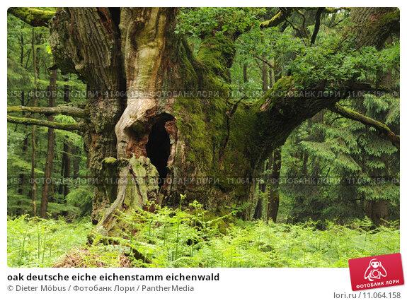 Купить «oak deutsche eiche eichenstamm eichenwald», фото № 11064158, снято 17 июня 2019 г. (c) PantherMedia / Фотобанк Лори