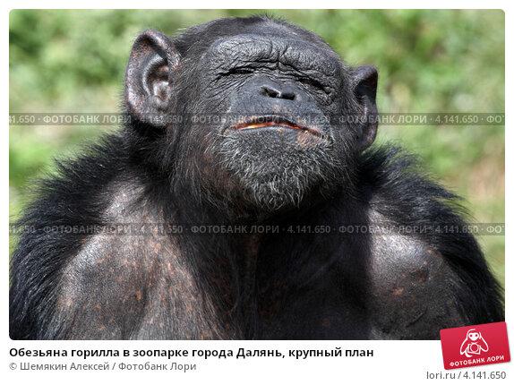 Обезьяна горилла в зоопарке города Далянь, крупный план. Стоковое фото, фотограф Шемякин Алексей / Фотобанк Лори