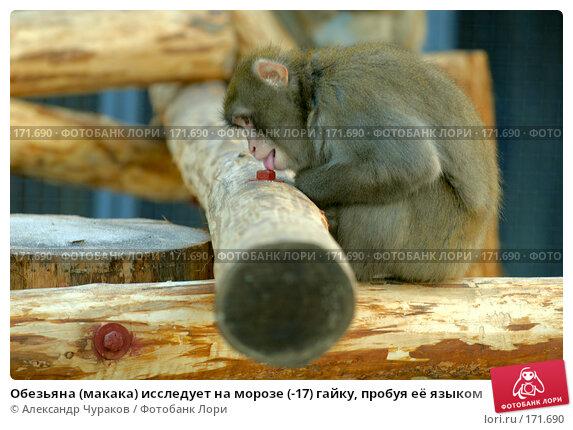 Обезьяна (макака) исследует на морозе (-17) гайку, пробуя её языком, фото № 171690, снято 1 января 2008 г. (c) Александр Чураков / Фотобанк Лори