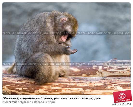 Обезьяна, сидящая на бревне, рассматривает свою ладонь, фото № 171674, снято 1 января 2008 г. (c) Александр Чураков / Фотобанк Лори