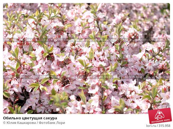 Купить «Обильно цветущая сакура», фото № 315958, снято 25 апреля 2008 г. (c) Юлия Кашкарова / Фотобанк Лори