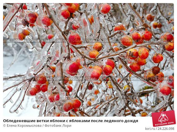 Купить «Обледеневшие ветки яблони с яблоками после ледяного дождя», фото № 24226098, снято 13 ноября 2016 г. (c) Елена Коромыслова / Фотобанк Лори
