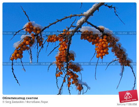 Купить «Облепихапод снегом», фото № 130058, снято 21 декабря 2005 г. (c) Serg Zastavkin / Фотобанк Лори