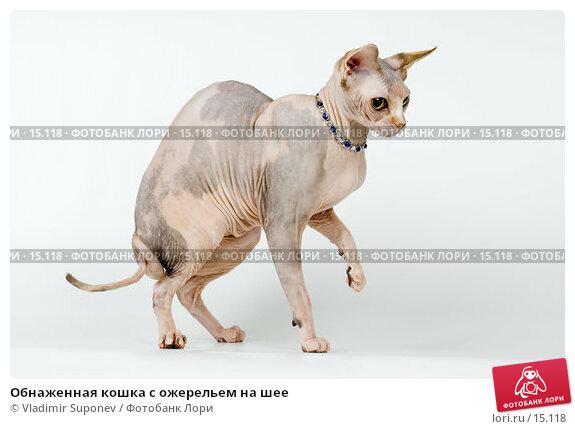 Обнаженная кошка с ожерельем на шее, фото № 15118, снято 10 декабря 2006 г. (c) Vladimir Suponev / Фотобанк Лори