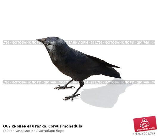 Купить «Обыкновенная галка. Corvus monedula», фото № 291766, снято 2 мая 2008 г. (c) Яков Филимонов / Фотобанк Лори