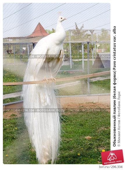 Купить «Обыкновенный павлин (белая форма) Pavo cristatus var. alba», фото № 296334, снято 13 мая 2008 г. (c) Михаил Котов / Фотобанк Лори
