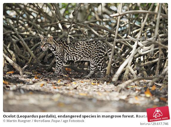 Купить «Ocelot (Leopardus pardalis), endangered species in mangrove forest. Roatan, Bay Islands Honduras, Central America, Latin America.», фото № 29617746, снято 15 мая 2009 г. (c) age Fotostock / Фотобанк Лори