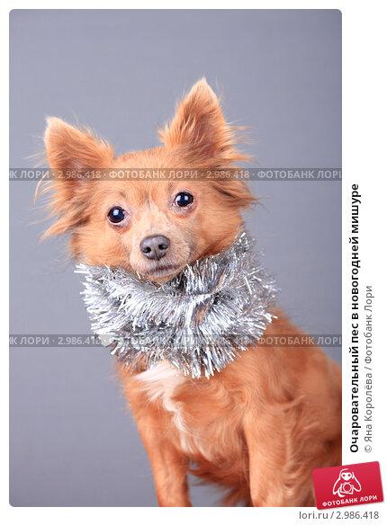 Купить «Очаровательный пес в новогодней мишуре», эксклюзивное фото № 2986418, снято 16 июля 2018 г. (c) Яна Королёва / Фотобанк Лори