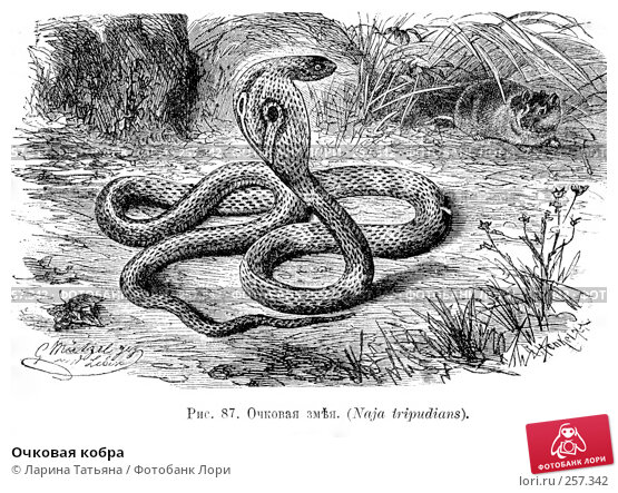 Очковая кобра, фото № 257342, снято 24 января 2017 г. (c) Ларина Татьяна / Фотобанк Лори