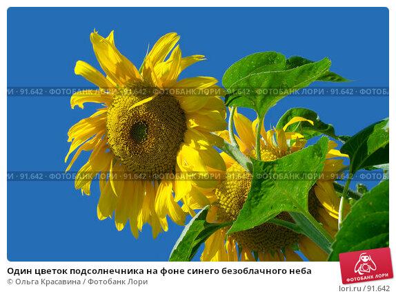 Один цветок подсолнечника на фоне синего безоблачного неба, фото № 91642, снято 13 августа 2007 г. (c) Ольга Красавина / Фотобанк Лори