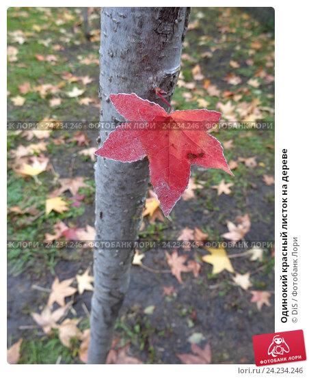 Купить «Одинокий красный листок на дереве», фото № 24234246, снято 5 ноября 2016 г. (c) DiS / Фотобанк Лори