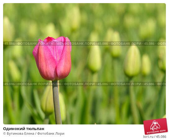 Одинокий тюльпан, фото № 45086, снято 20 мая 2007 г. (c) Бутинова Елена / Фотобанк Лори