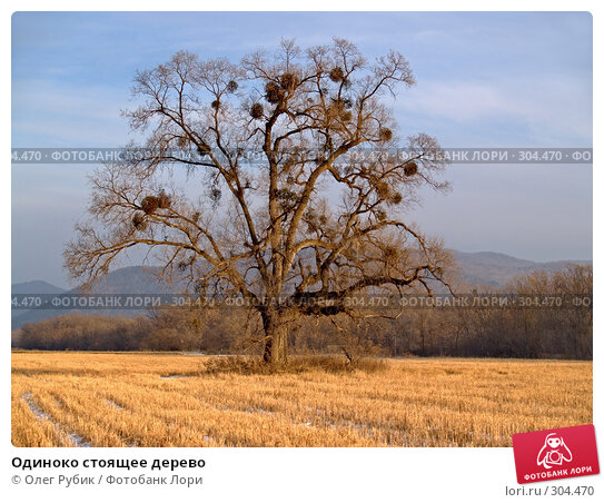 Одиноко стоящее дерево, фото № 304470, снято 13 декабря 2007 г. (c) Олег Рубик / Фотобанк Лори