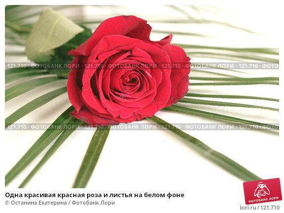 Купить «Одна красивая красная роза и листья на белом фоне», фото № 121710, снято 12 октября 2007 г. (c) Останина Екатерина / Фотобанк Лори