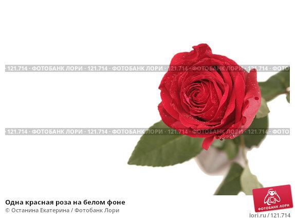 Одна красная роза на белом фоне, фото № 121714, снято 12 октября 2007 г. (c) Останина Екатерина / Фотобанк Лори